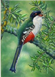 Cuban Trogon